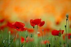Flores rojas de la amapola de maíz Imagen de archivo libre de regalías