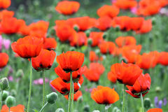 Flores rojas de la amapola en campo Imagenes de archivo