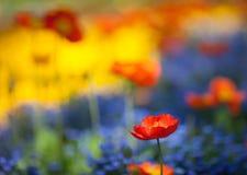 Flores rojas de la amapola en campo de flor colorido Imágenes de archivo libres de regalías