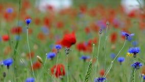 Flores rojas de la amapola en campo verde metrajes