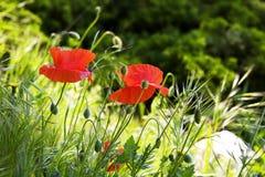 Flores rojas de la amapola en el campo Imágenes de archivo libres de regalías