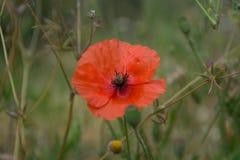 Flores rojas de la amapola en el campo Fotografía de archivo