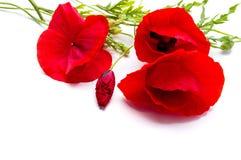 Flores rojas de la amapola en el fondo blanco fotos de archivo