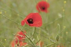 Flores rojas de la amapola en la floración Foto de archivo libre de regalías
