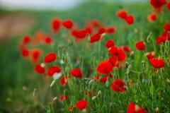 Flores rojas de la amapola en un campo imagenes de archivo