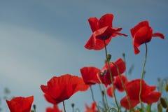 Flores rojas de la amapola Flores de la amapola y cielo azul en el cercano de Baviera Alemania de Munich Imagen de archivo libre de regalías