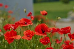 Flores rojas de la amapola Flores de la amapola y cielo azul en el cercano de Baviera Alemania de Munich Fotografía de archivo libre de regalías