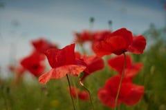 Flores rojas de la amapola Flores de la amapola y cielo azul en el cercano de Baviera Alemania de Munich Imagen de archivo