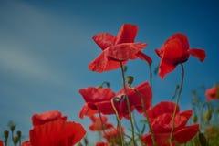 Flores rojas de la amapola Flores de la amapola y cielo azul en el cercano de Baviera Alemania de Munich Imagenes de archivo
