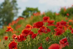 Flores rojas de la amapola Flores de la amapola y cielo azul en el cercano de Baviera Alemania de Munich Fotografía de archivo