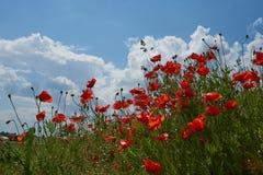 Flores rojas de la amapola Flores de la amapola y cielo azul en el cercano de Baviera Alemania de Munich Fotos de archivo libres de regalías