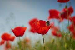 Flores rojas de la amapola Flores de la amapola y cielo azul en el cercano de Baviera Alemania de Munich Imágenes de archivo libres de regalías