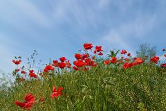 Flores rojas de la amapola Flores de la amapola y cielo azul en el cercano de Baviera Alemania de Munich Foto de archivo