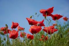 Flores rojas de la amapola Flores de la amapola y cielo azul en el cercano de Baviera Alemania de Munich Fotos de archivo