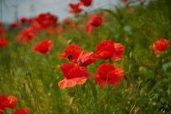 Flores rojas de la amapola y una abeja Flores de la amapola y cielo azul en el cercano de Baviera Alemania de Munich Imagen de archivo libre de regalías