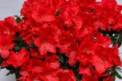 Flores rojas de la azalea Imágenes de archivo libres de regalías