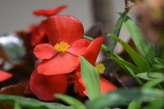 Flores rojas de la begonia con mañana agradable de la luz del día fotografía de archivo libre de regalías