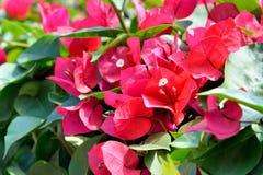 Flores rojas de la buganvilla Imágenes de archivo libres de regalías