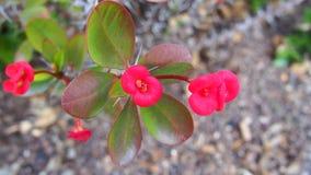 Flores rojas de la corona de espinas, planta de Cristo, espina de Cristo, España Imagen de archivo