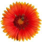 Flores rojas de la dalia Imagen de archivo