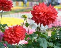 Flores rojas de la dalia de la floración Fotos de archivo libres de regalías