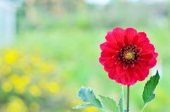 Flores rojas de la dalia en jardín Foto de archivo