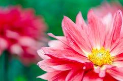 Flores rojas de la floración del Gerbera Fotografía de archivo