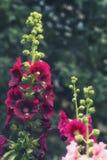 Flores rojas de la malva en un macizo de flores Imagen de archivo libre de regalías