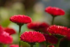Flores rojas de la margarita Foto de archivo