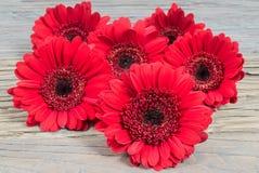 Flores rojas de la margarita del Gerbera Foto de archivo libre de regalías