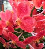 Flores rojas de la orquídea Foto de archivo