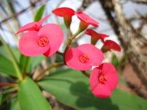 Flores rojas de la planta de Cristo Fotos de archivo libres de regalías