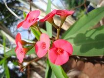 Flores rojas de la planta de Cristo Foto de archivo