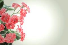 Flores rojas de la planta de Kalanchoe en fondo de la pendiente Foto de archivo libre de regalías