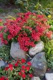 Flores rojas de la verbena y del balsamina entre piedras en jardín imágenes de archivo libres de regalías