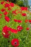 Flores rojas de las amapolas en el campo Snoqualme Washington Imagenes de archivo