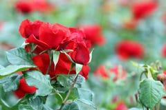 Flores rojas de las rosas Imagen de archivo libre de regalías