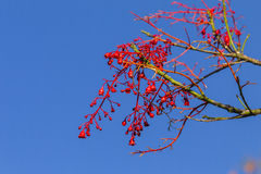 Flores rojas de los brotes de la primavera Imagenes de archivo