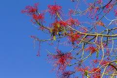 Flores rojas de los brotes de la primavera Fotografía de archivo libre de regalías