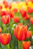 Flores rojas de los tulipanes Imagen de archivo libre de regalías