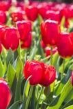 Flores rojas de los tulipanes Fotos de archivo libres de regalías