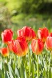 Flores rojas de los tulipanes Fotografía de archivo libre de regalías