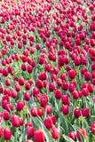 Flores rojas de los tulipanes Imagenes de archivo