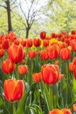 Flores rojas de los tulipanes Imagen de archivo