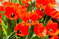 Flores rojas de los tulipanes imágenes de archivo libres de regalías