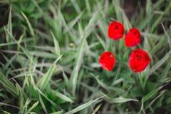 Flores rojas de los tulipanes del primer entre hierba y verdes imagen de archivo
