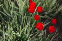Flores rojas de los tulipanes del primer entre hierba y verdes foto de archivo