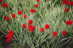 Flores rojas de los tulipanes del primer entre hierba y verdes foto de archivo libre de regalías
