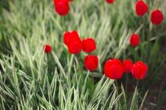 Flores rojas de los tulipanes del primer entre hierba y verdes imágenes de archivo libres de regalías