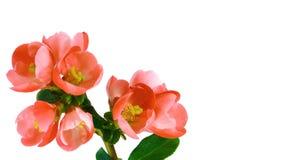 Flores rojas de Timelapse en blanco